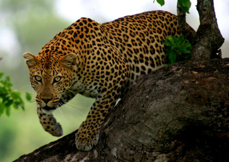 Name:  Leopard-Bergendal3 (8)a1.jpg