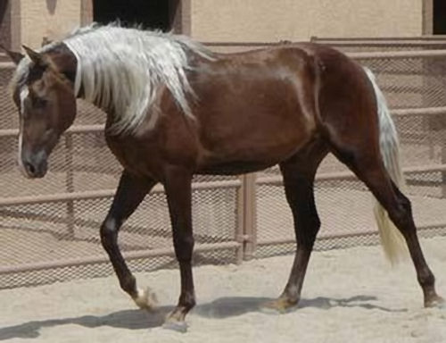 I can be your hero, and lead you through this or I can be your enemy, and watch you burn without me. (please reply!) 50162d1293427865-post-most-beautiful-horse-world-silver-dapple-chocolate-palomino-jpg