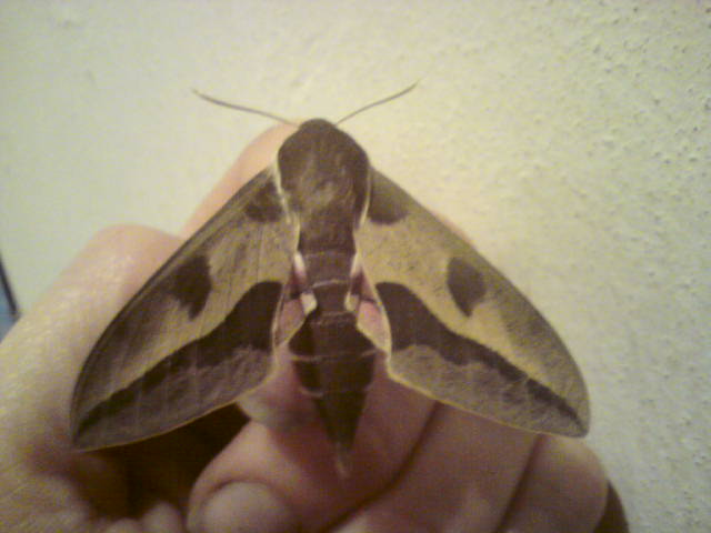 Name:  Spurge Hawk Moth (5).JPG