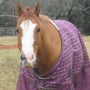 """Tinkerbelle""-This is the cutest little quarter horse mare you will ever find! 8 years old. She is a paint (white spot on belly and white le"