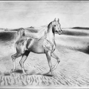 The first of a series of three Arabian stallions.