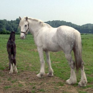 My mare, the Grey Ghost as a call her, Bethilda and her month old foal Casper