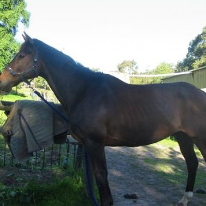 This is my new horse Amigo he looks a lot darker in the photo but that becouse he is in the shade