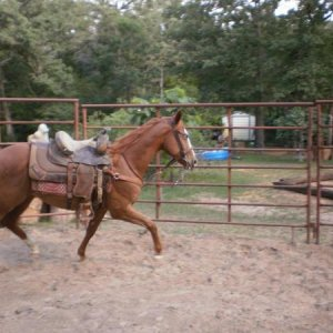 Bella working in the round pen, I have trained her from the ground up. She was 2 in this pic.