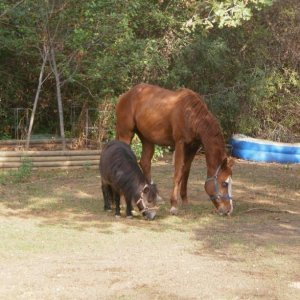 These are my girls!! Left: bay Miniature horse (Bitzy) Right: Sorrel and white solid paint with double glass eyes (Bella)