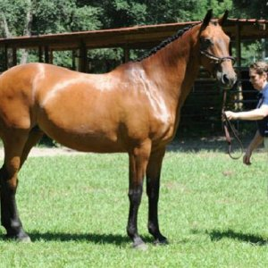 approved for breeding with the German Oldenburg Main Mare Book
