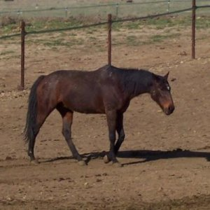 ottb mare. she was born in 1986 died Dec 2013.  RIP  Tomis Angelica
