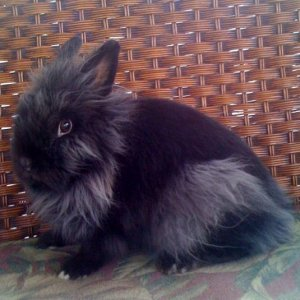 VP Valley's Duchess. Black- Lionhead doe Fiona was Best In Breed at the 2011 north carolina convention. ***** UP-DATE SOLD*****