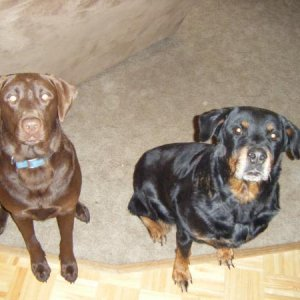 Jojo the Chocolate Lab and Coco the Rotty